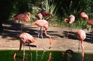 Des flamands rose
