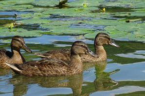 Quelques jeunes canards en groupe