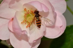 Une syrphe qui butine une rose