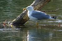 Le jeux d'eau d'un goéland argenté