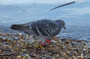 Des pigeons début novembre 2016