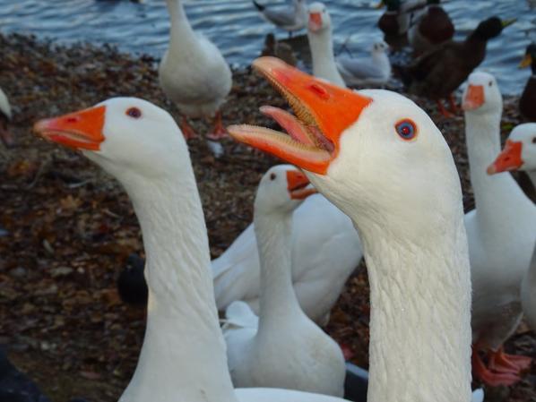 Des oies râleuses