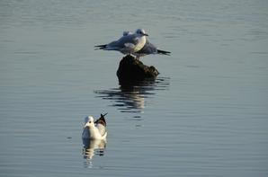 Deux goélands argentés sur leurs rocher