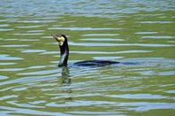 Un cormoran qui pêche