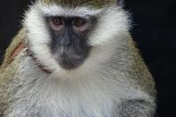 Un singe accompagné de son doudou qui mange ses poux