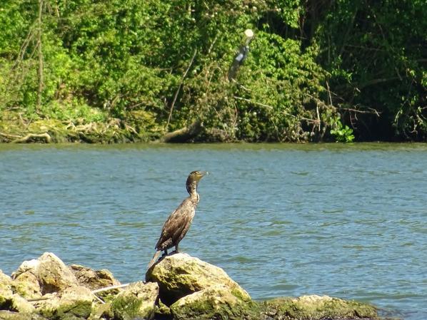 Un cormoran sur son île