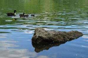 Une famille de canards qui se fait chasser par un cygne