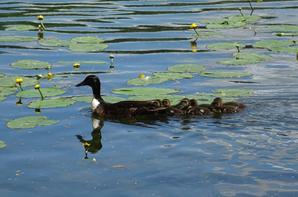 Une famille de canards s'en va plus loin