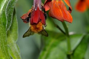 Une abeille qui butine sa fleur (1/2)