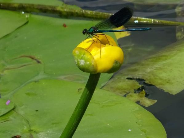 Quelques libellules prisent fin juillet