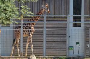 Des girafes qui vont rentrées à l'abris en photos