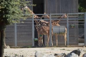 Des girafes qui vont rentrées à l'abris