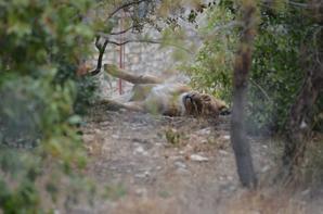 Un lion au repos