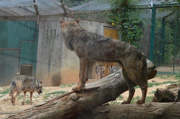 Quelques loups