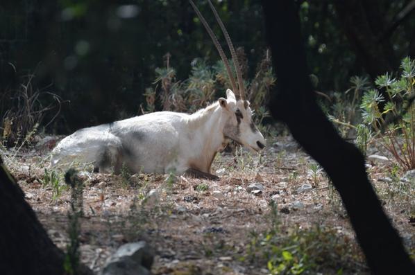 Oryx d'Arabie