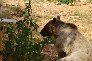 Un ours qui tourne autour d'un de ses congénère puis s'en va