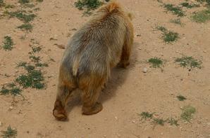 Un ours brun qui tourne en rond