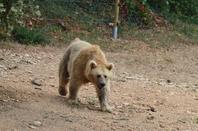 Un ours à la recherche de nourriture