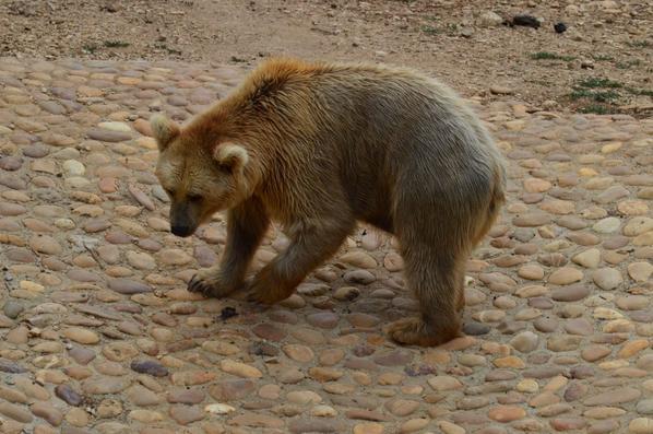 Un ours brun va tranquillement à l'eau