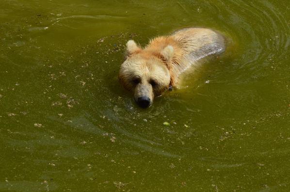 Un ours qui prend un bain