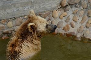 Un ours qui barbote dans l'eau