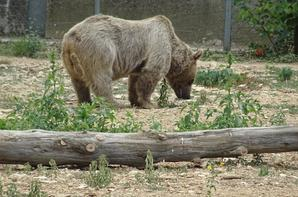 Un ours brun sort de l'eau et rejoint ses congénères