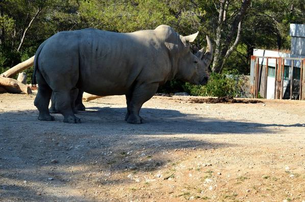 Un rhinocéros qui fait de la poussière