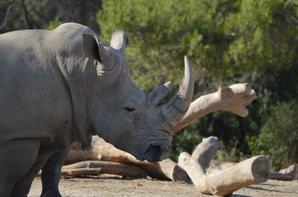 Des rhinocéros qui vont vers leurs enclos