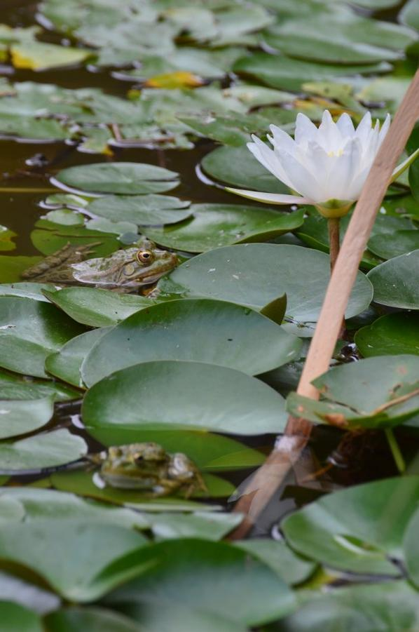 Une grenouille face à une fleur de nénuphar en photos