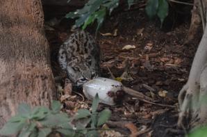 Un chat tigre qui mange une glace