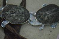Des tortues un peux trop proches