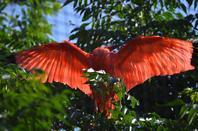 Quelques ibis rouge