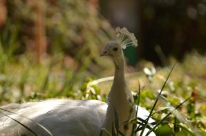 Un paon blanc à Maguelone