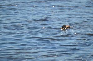 Un grèbe huppé à la recherche de poisson