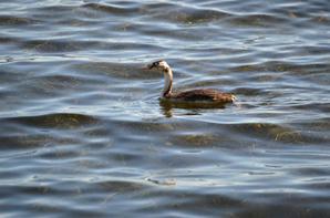 Un grèbe huppé à la recherche de poisson en photos