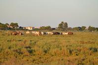 Des chevaux qui court près de Pallavas les Flots