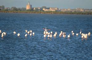 Des flamants roses à Aigues Mortes en photos (2/3)