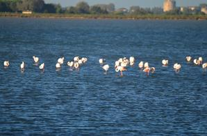 Des flamants roses à Aigues Mortes en photos (3/3)