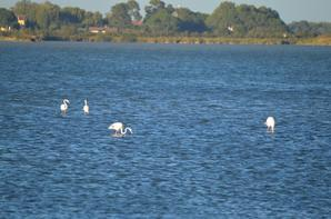 Des flamants roses à Aigues Mortes