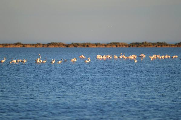 Des flamants roses près de Pallavas les Flots en photos (2/2)