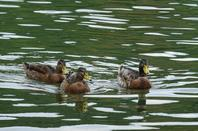 Quelques canards