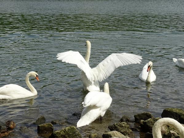 Le vol puis l'atterrissage de quatre cygnes