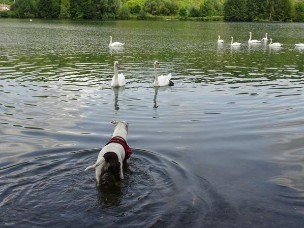 Un chien qui voudrait bien ce faire un canard