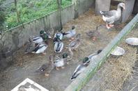 voila mais nouveaux canard