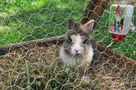 Nom: BO-BIES,  race: lapin nain lion, age: 6 mois, caractère: mignon, calme, speed, calineux  (mon lapin se fait tjrs photographié l'été c'est la mascotte du coin)