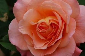 les roses de pépère