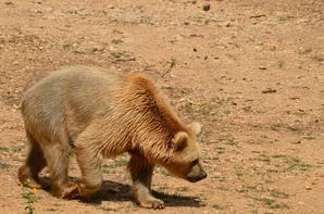Un ours qui cherche à manger
