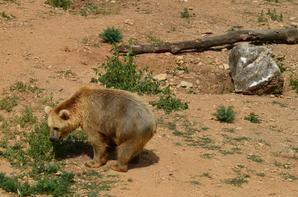 Un ours qui tourne en rond