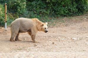 Un ours qui mange des feuilles