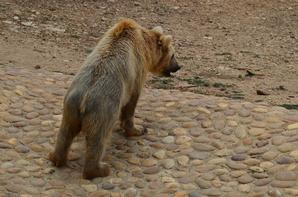 Un ours va tranquillement à l'eau